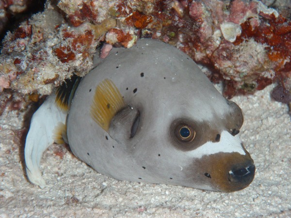 dog face puffer fish two moms and a journey
